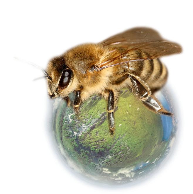 čebela na zemlji